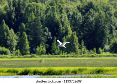 Ross's Gull (rhodostethia rosea) in Hope, Alaska
