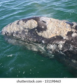 The rostrum of a gray whale is full of barnacles in a lagoon in Baja Mexico