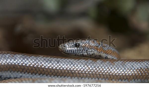 rosy-boa-small-attractive-nonvenomous-60