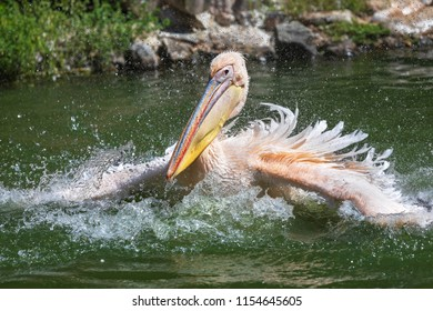 A rosy Pelican splashes water to catch fish in Danube Delta. Also known as great white pelican (Pelecanus onocrotalus), the eastern or the rosy pelican
