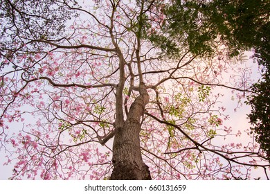"""Rosy trumpet tree and flowers.May be called """"Tabebuia rosea""""or """"pink poui"""".The flowers are large, in various tones of pink to purple, and appear while the tree has none, or very few leaves."""