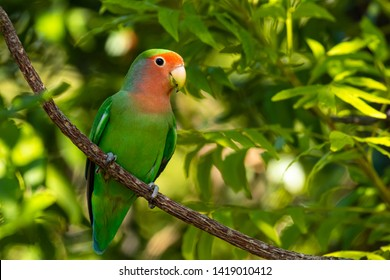 Rosy-faced lovebird (Agapornis roseicollis) in Namibia