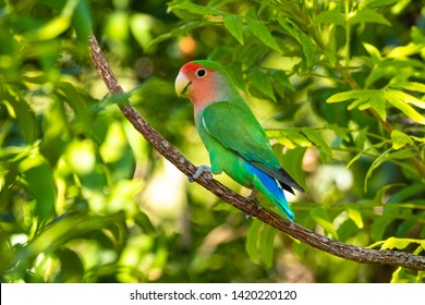 Rosy-faced lovebird (Agapornis roseicollis) in Namibia