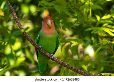 Rosy-faced lovebird (Agapornis roseicollis) in a tree