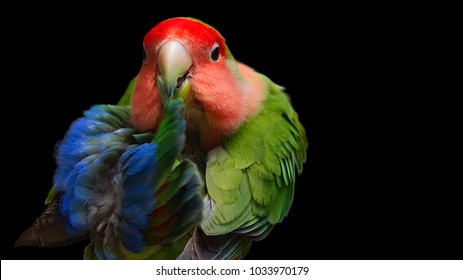 Rosy-faced lovebird, a colorful parrot, Agapornis roseicollis, also known as rosy-collared or peach-faced lovebird, posing for a portrait against black background