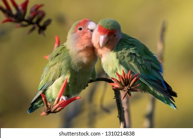 Rosy-faced Lovebird in Namibia