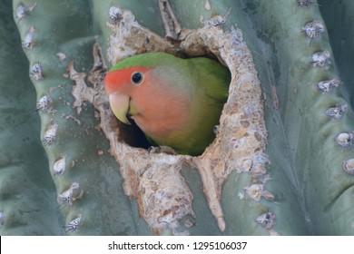Rosy-faced Lovebird in a nest in a saguaro cactus in the Arizona desert
