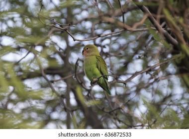 Rosy-faced Lovebird in Phoenix, Arizona