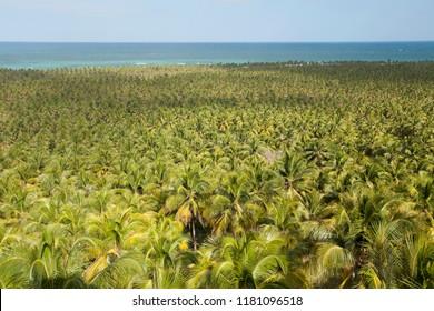 Roteiro, Alagoas / Brazil - 09/11/2015: Coconut plantation on Gunga Beach - South Coast of Alagoas
