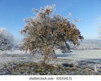 Roter Winterapfel Baum Jonathan im kalten Dezember