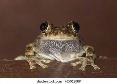 Roth's or northern laughing frog (Litoria rothii) showing goggly eyes. Atherton, Queensland, Australia.