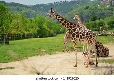 Rothschild giraffe in captivity at the ZOO in Prague