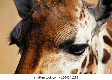 Rothschild giraffe (Giraffa camelopardalis rothschildi). Close up of the eyes of a Rothschild giraffe. Space for text.
