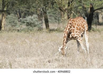 Rothschild Giraffe  in Lake Nakuru  National Reserve, Kenya, East Africa
