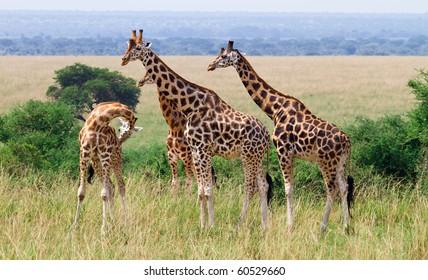 Rothschild giraffes wild Murchison NP, Uganda