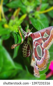 Rothschildia moth jacobaeae on green leaves giant Argentina moth, cecropia moths, The Atlas of Rothschild,