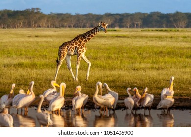 Rothschild's Giraffe (Giraffa camelopardalis) and pelicans in Lake Nakuru National Park, Kenya