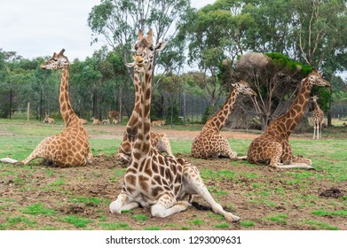 Rothschilds giraffe, Giraffa camelopardalis rothschildi, native to eastern Africa.