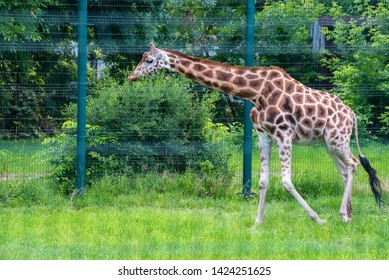 Rothschild's giraffe or Giraffa camelopardalis rothschildi walks in captivity