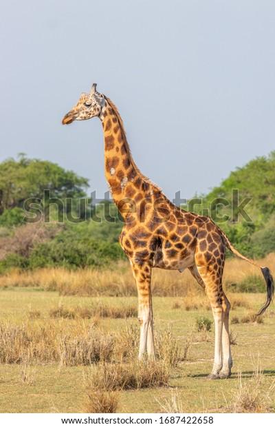 Rothschild's giraffe ( Giraffa camelopardalis rothschildi), Murchison Falls National Park, Uganda.