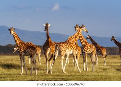 Rothschild's Giraffes (Giraffa camelopardalis) in Lake Nakuru National Park, Kenya