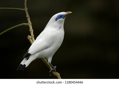 Rothschild's Mynah - Leucopsar rothschildi, beautiful white blue eyed starling endemic in Bali island, Indonesia.