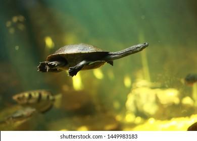 Roti Island snake-necked turtle (Chelodina mccordi), also known as McCord's snakeneck turtle.
