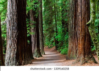 The Rotorua Redwoods Forest is a major tourist attraction for walking, riding and peace and quiet.