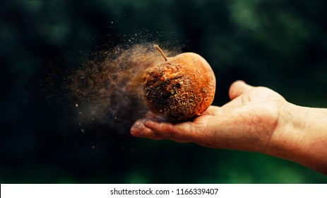 Rotten apple in old hand. Time is running out concept shows rotten apple that is dissolving away into little particles.