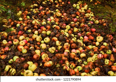 Rotten apples as discarded garbage lie on the ground in the city along the road