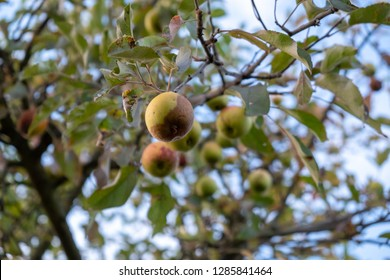 rotten apples hang from a tree in autumn