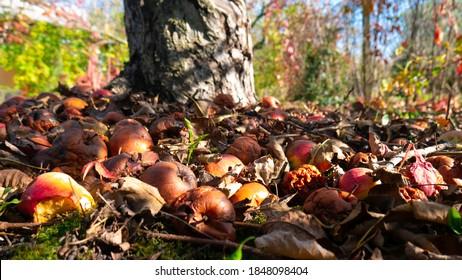 Rotten apples under a tree.