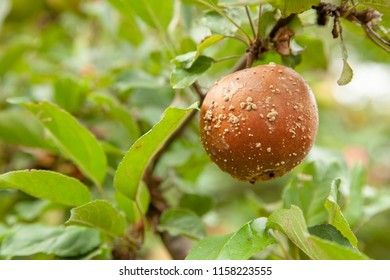 Rotten bad apple hangs on tree with green leaves