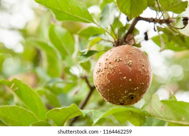 Rotten bad apple hangs on tree with green leaves - Shutterstock ID 1164462259