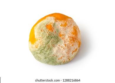 Rotten citrus. Penicillium mold on a mandarin fruit. Microscopic fungi producing penicillin antibiotic