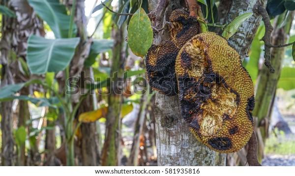 Rotten jack fruit on tree.