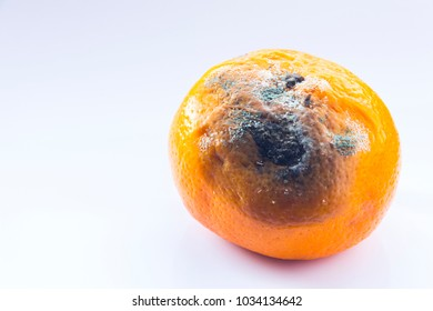 Rotten mandarin on a white background. Citrus covered with mold. A spoiled fruit. Copy space. Close-up.