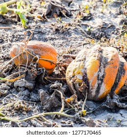 Rotten melon. An abandoned field of watermelons and melons. Rotten watermelons. Remains of the harvest of melons. Rotting vegetables on the field