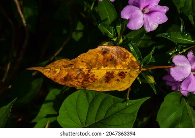 rotten naturaly leaf with brown dot