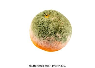 Rotten orange isolated on white background. Orange with mold fungi. Green mold on an orange. Moldy orange.