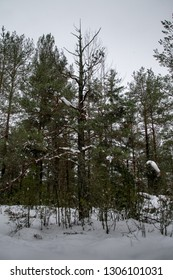 A rotten pine in the woods in Karlstad, Sweden 2019-02-05