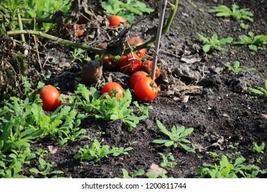 Rotten tomato below a plant in summer sun at a garden in Capelle aan den Ijssel in Park Hitland