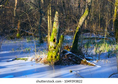 Rotten tree trunk with woodpeckers hollows in early spring season in central Poland mazovian plateaus near Warsaw - Shutterstock ID 1049393822