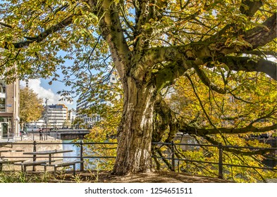 Rotterdam, The Netherlands, November 2, 2018: Old chestnut tree in autumn colors with overhanging branches at the edge of Steigersgracht canal, with Markthal and public library in the background
