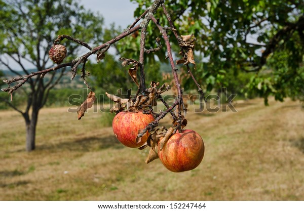 Rotting apples on a branch. Organic apple orchard in autumn. Circle of nature.