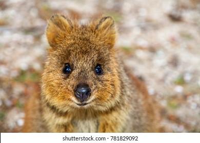 Rottnest Island Quokka, Western Australia