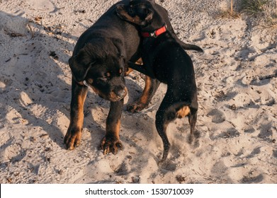 Rottweiler 3 months and pinscher mini playing in Poland desert the bigget from europe