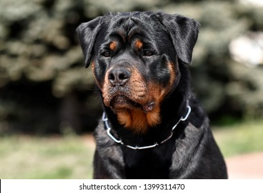 Rottweiler big black dog portrait