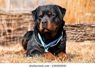 Rottweiler. Big dog