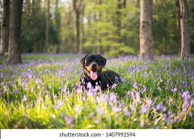 Rottweiler in the bluebell wood